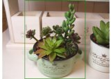 【光触媒加工】スープカップin多肉植物(寄植え) グリーン